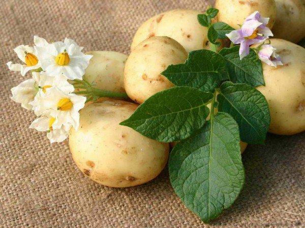 цветки картофеля 2